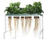 Roots grown directly in air, sprayed constantly or frequently with nutrient solution