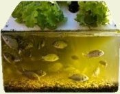 Produce garnden vegetables AND fish together. Eliminate fertilizer costs!