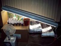 Clones and seedlings grow easily under regular 4 FT fluorescent lights
