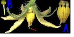 both male parts (A) and female parts (B) exist on every tomato plant