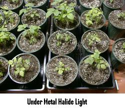 Metal Halide lights produce a white-looking light, because they prduce more blue light