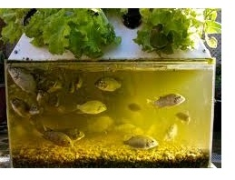 Simple aquaponics system diy flood and drain aquaponics for Hydroponic garden with fish