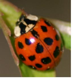 Beneficial insects, like ladybugs, can eat hundreds of garden pests per day.