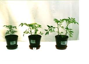 tomatos in the seedling stage