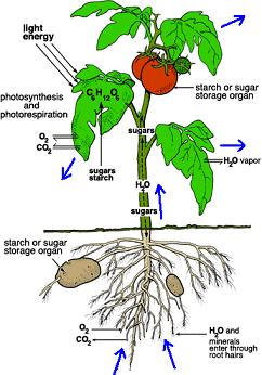 plant transpiration diagram